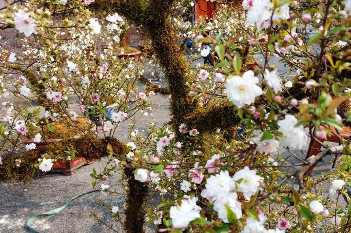 Mai trắng quý gây sốc với giá trăm triệu tại chợ hoa Tết đất cố đô - Ảnh 7.