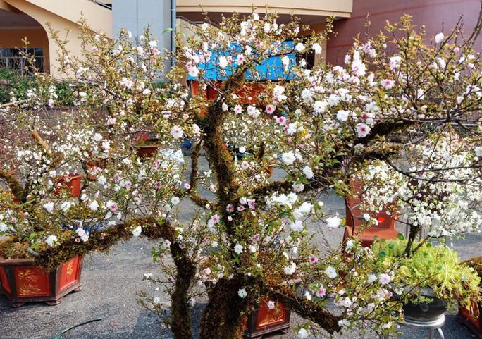 Mai trắng quý gây sốc với giá trăm triệu tại chợ hoa Tết đất cố đô - Ảnh 6.