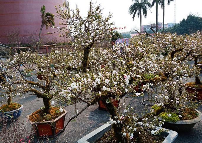 Mai trắng quý gây sốc với giá trăm triệu tại chợ hoa Tết đất cố đô - Ảnh 1.