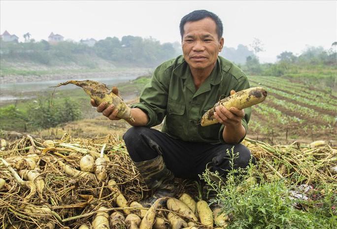 Cả cánh đồng ngập trắng củ cải bị vứt bỏ vì không ai mua - Ảnh 4.