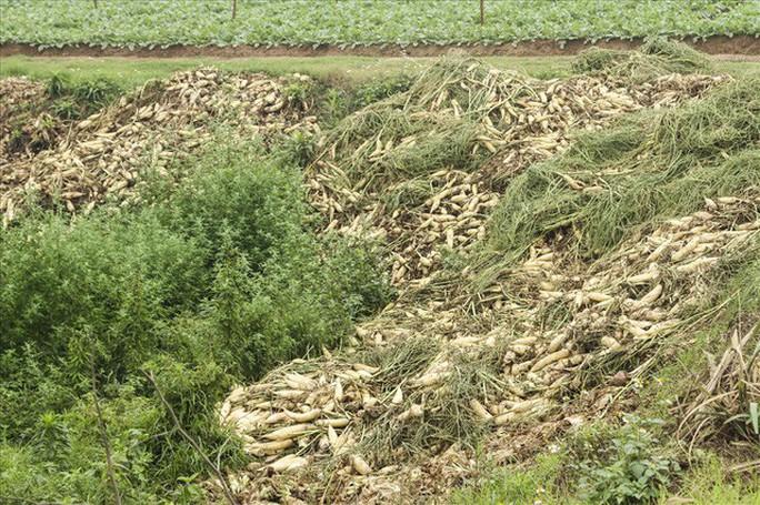 Cả cánh đồng ngập trắng củ cải bị vứt bỏ vì không ai mua - Ảnh 7.