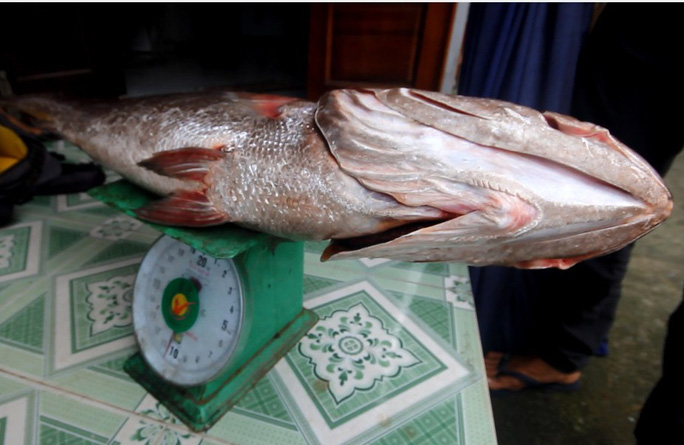 Câu được cá 10,5 kg, nghi sủ vàng quý hiếm - Ảnh 3.