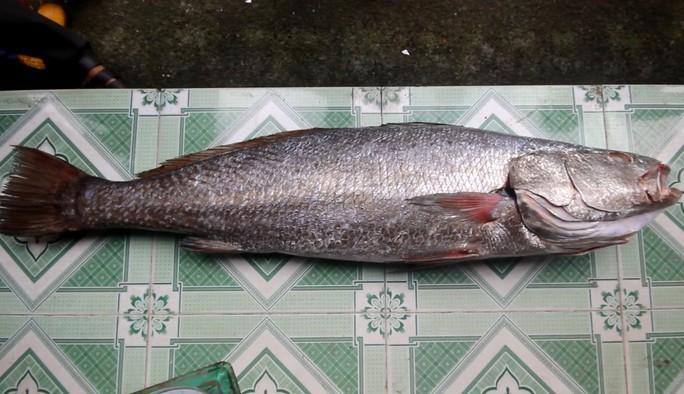Câu được cá 10,5 kg, nghi sủ vàng quý hiếm - Ảnh 4.