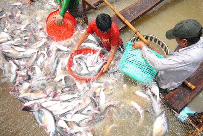 Người nuôi lãi to, cá tra giống lại thiếu - Ảnh 1.