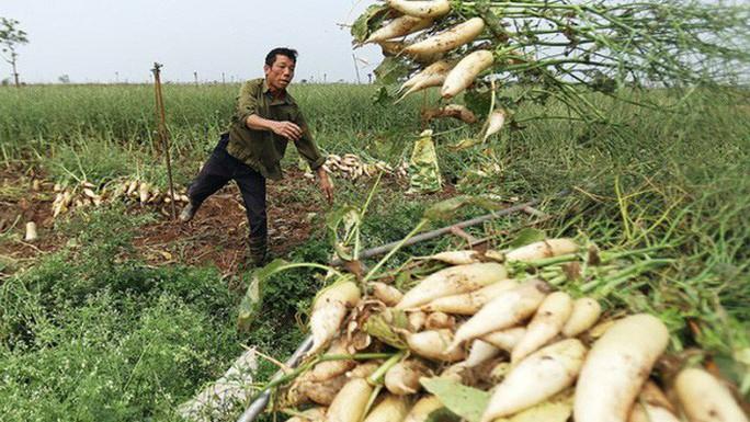 Hiện tượng nông dân nhổ bỏ su hào, củ cải chỉ là số ít - Ảnh 1.