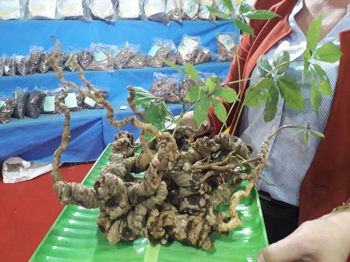 2 củ sâm Ngọc Linh được rao giá hơn 1 tỉ đồng - Ảnh 1.