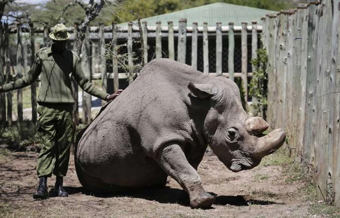 Con tê giác trắng phương Bắc đực cuối cùng được trợ tử - Ảnh 1.