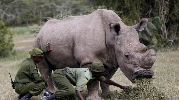 Con tê giác trắng phương Bắc đực cuối cùng được trợ tử - Ảnh 3.