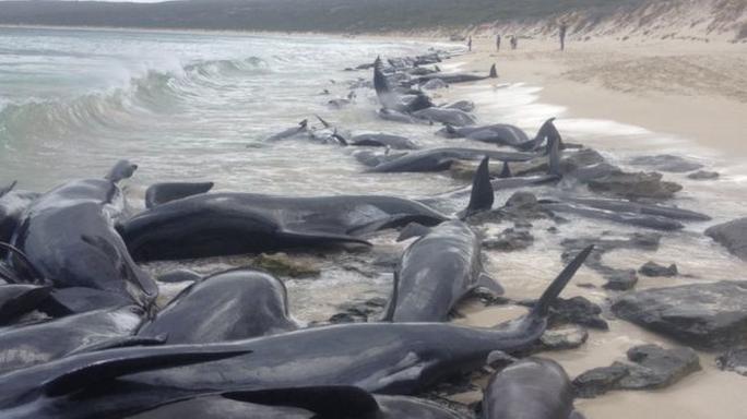 Úc: Hơn 100 con cá voi mắc cạn, phơi xác trên bãi biển - Ảnh 6.