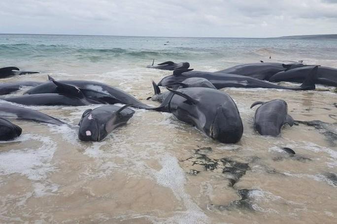 Úc: Hơn 100 con cá voi mắc cạn, phơi xác trên bãi biển - Ảnh 5.