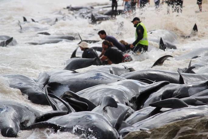 Úc: Hơn 100 con cá voi mắc cạn, phơi xác trên bãi biển - Ảnh 3.
