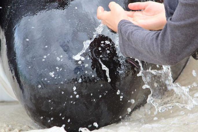 Úc: Hơn 100 con cá voi mắc cạn, phơi xác trên bãi biển - Ảnh 2.