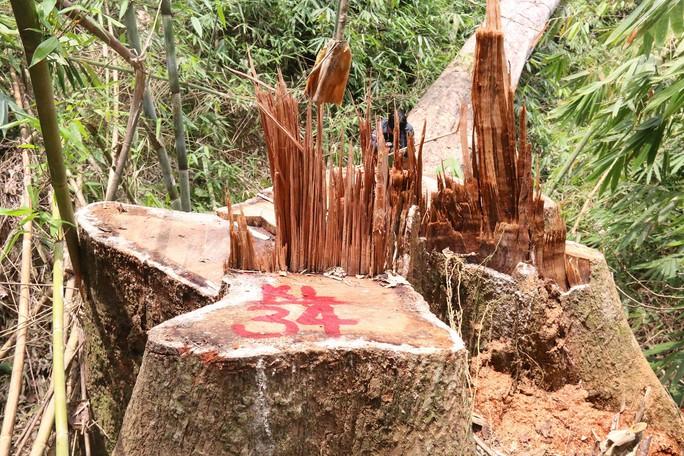Cận cảnh rừng lim cổ thụ hàng trăm năm tuổi bị xẻ thịt kinh hoàng - Ảnh 10.