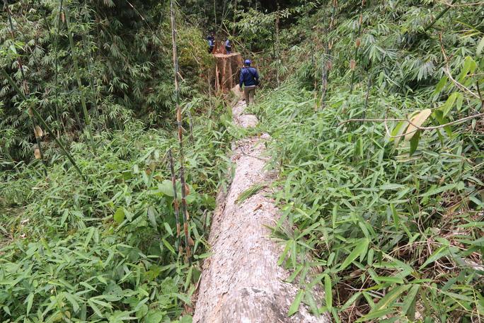 Cận cảnh rừng lim cổ thụ hàng trăm năm tuổi bị xẻ thịt kinh hoàng - Ảnh 11.
