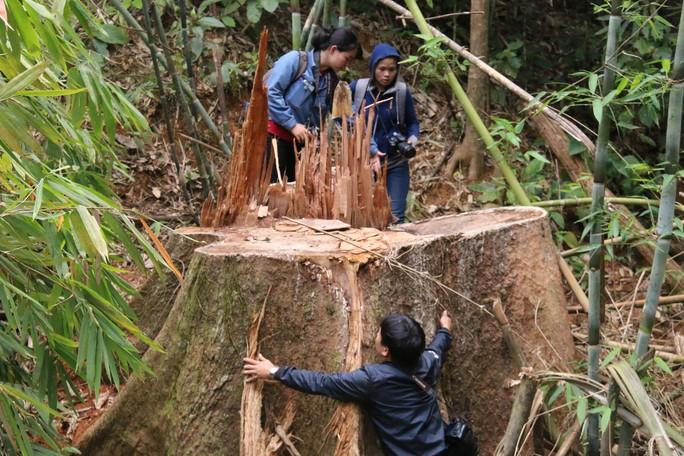 Cận cảnh rừng lim cổ thụ hàng trăm năm tuổi bị xẻ thịt kinh hoàng - Ảnh 9.