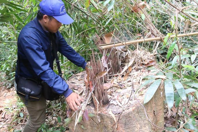Cận cảnh rừng lim cổ thụ hàng trăm năm tuổi bị xẻ thịt kinh hoàng - Ảnh 16.