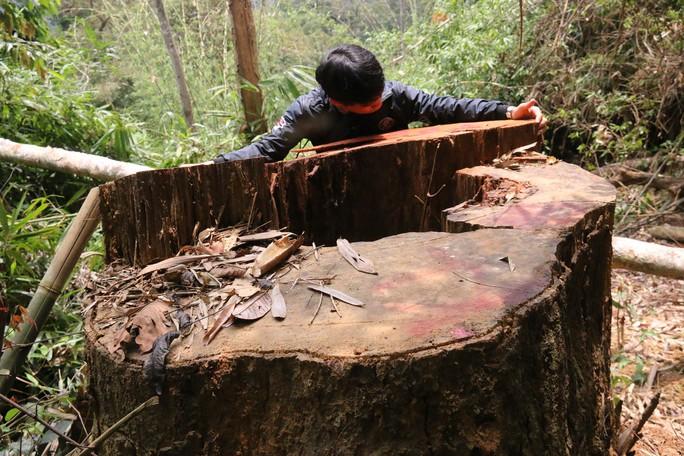Cận cảnh rừng lim cổ thụ hàng trăm năm tuổi bị xẻ thịt kinh hoàng - Ảnh 12.