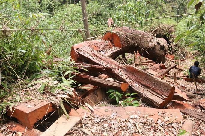 Cận cảnh rừng lim cổ thụ hàng trăm năm tuổi bị xẻ thịt kinh hoàng - Ảnh 7.