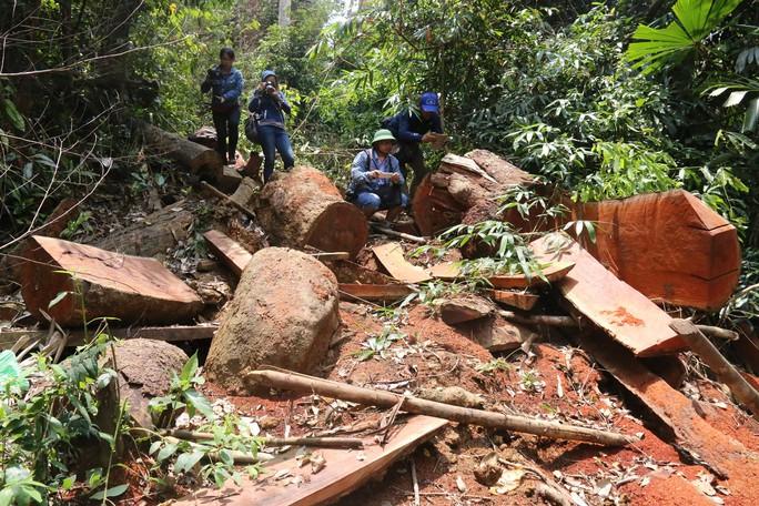 Cận cảnh rừng lim cổ thụ hàng trăm năm tuổi bị xẻ thịt kinh hoàng - Ảnh 5.
