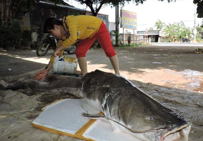 Mua được cá lăng khủng nặng hơn 85kg - Ảnh 2.