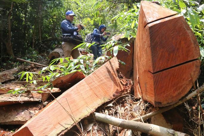 Cận cảnh rừng lim cổ thụ hàng trăm năm tuổi bị xẻ thịt kinh hoàng - Ảnh 3.