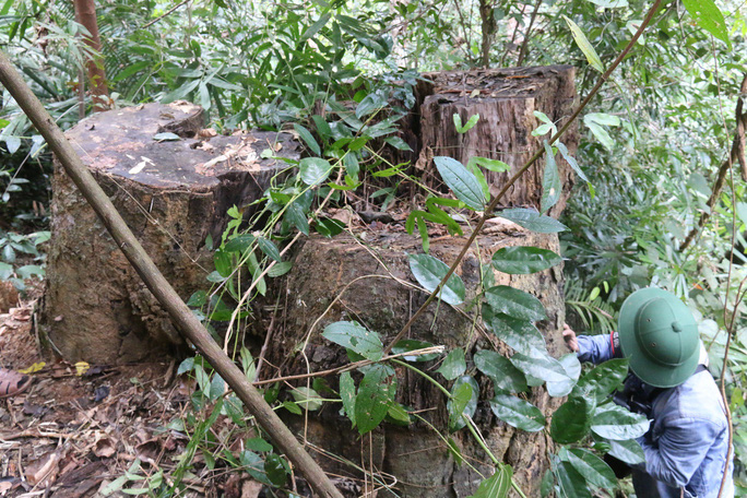 Cận cảnh rừng lim cổ thụ hàng trăm năm tuổi bị xẻ thịt kinh hoàng - Ảnh 15.