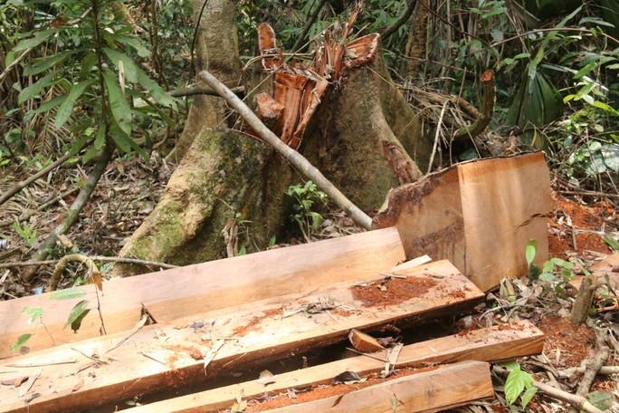 Cận cảnh rừng lim cổ thụ hàng trăm năm tuổi bị xẻ thịt kinh hoàng - Ảnh 4.