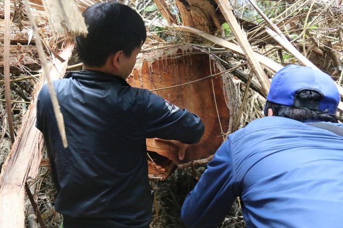 Cận cảnh rừng lim cổ thụ hàng trăm năm tuổi bị xẻ thịt kinh hoàng - Ảnh 13.