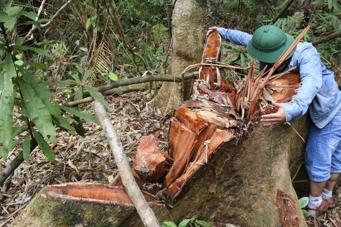 Cận cảnh rừng lim cổ thụ hàng trăm năm tuổi bị xẻ thịt kinh hoàng - Ảnh 6.