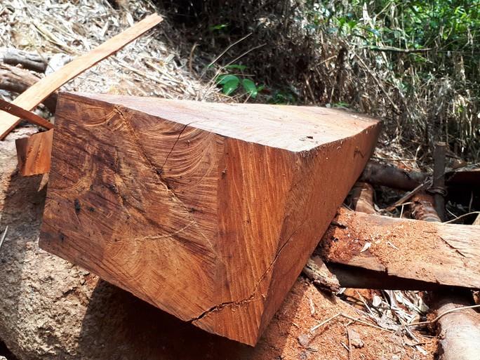 Công an tỉnh tham gia điều tra vụ thảm sát rừng lim cổ thụ - Ảnh 3.