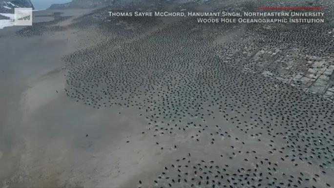 Bầy chim cánh cụt khổng lồ trên quần đảo Nguy Hiểm - Ảnh 1.