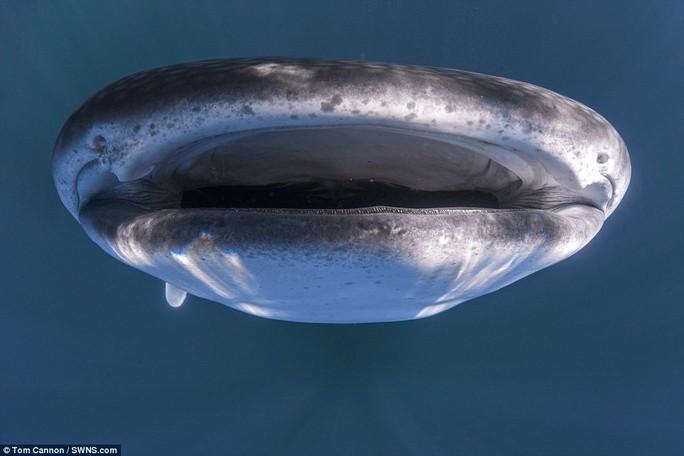 """Độc đáo hình ảnh cá nhám voi """"đội"""" thuyền trên đầu - Ảnh 1."""