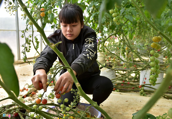 Nhà giàu đổ xô lên Măng Đen trồng rau sạch, thuốc quý - Ảnh 3.