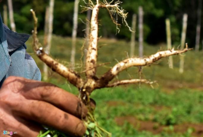 Nhà giàu đổ xô lên Măng Đen trồng rau sạch, thuốc quý - Ảnh 10.