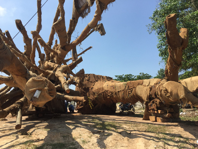 Cận cảnh 3 cây quái thú bị CSGT Thừa Thiên- Huế bắt giữ - Ảnh 6.