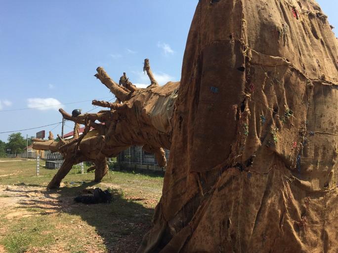 """3 cây """"quái thú"""" xuất phát từ 3 huyện của Đắk Lắk - Ảnh 1."""