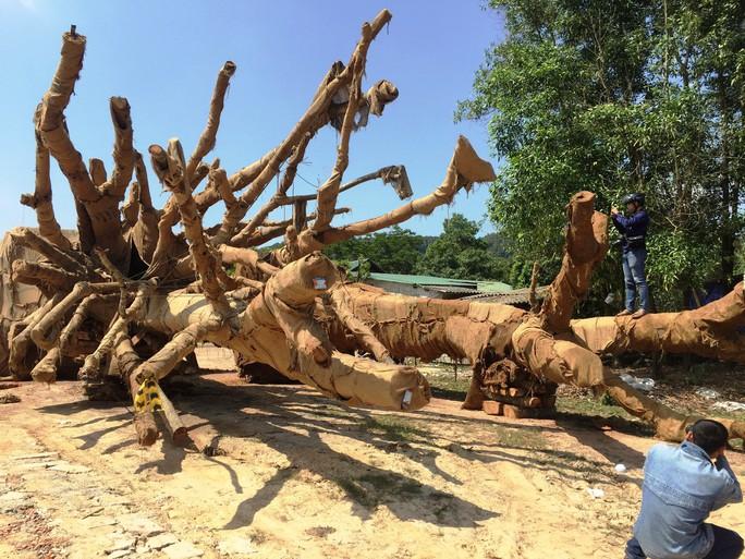 Cận cảnh 3 cây quái thú bị CSGT Thừa Thiên- Huế bắt giữ - Ảnh 2.