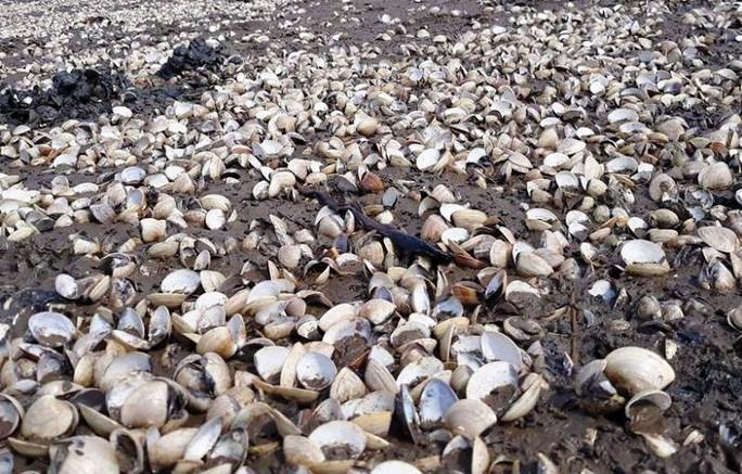 Dân điêu đứng vì hơn 90 tấn ngao chết bất thường - Ảnh 3.