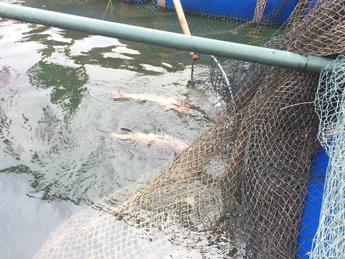 Cá, mực trong bè nổi ở khu vực cảng Vũng Áng chết bất thường - Ảnh 1.