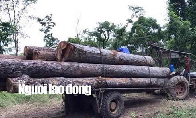 Kiểm lâm kiểm tra thường xuyên nhưng không thấy gỗ lậu của trùm Phượng râu!? - Ảnh 1.