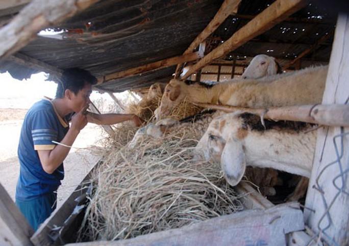 Mới đầu hạn, cừu đã chết hàng loạt - Ảnh 1.