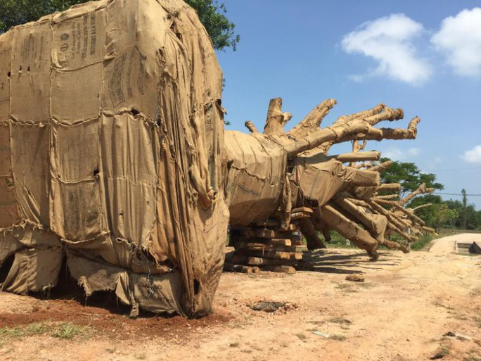 Phó Thủ tướng yêu cầu làm rõ vụ chở cây quái thú - Ảnh 1.