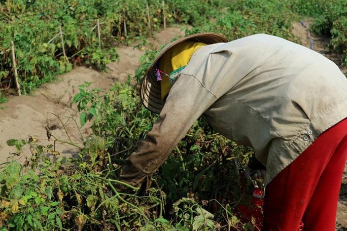 Nghề trồng cà chua cắm rễ trên cát trắng - Ảnh 2.