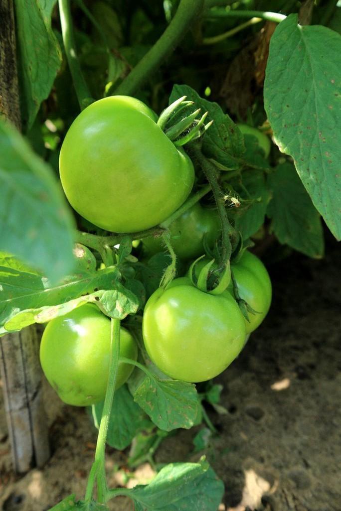 Nghề trồng cà chua cắm rễ trên cát trắng - Ảnh 4.