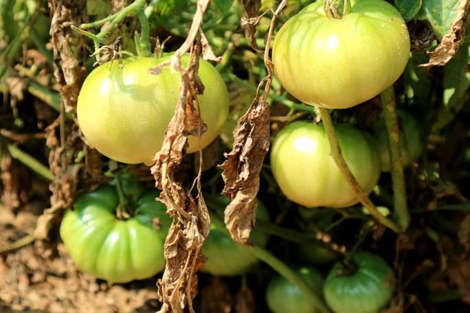 Nghề trồng cà chua cắm rễ trên cát trắng - Ảnh 6.