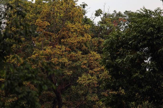 Sài Gòn đẹp mê hồn với mùa chò nâu xoay tít - Ảnh 7.