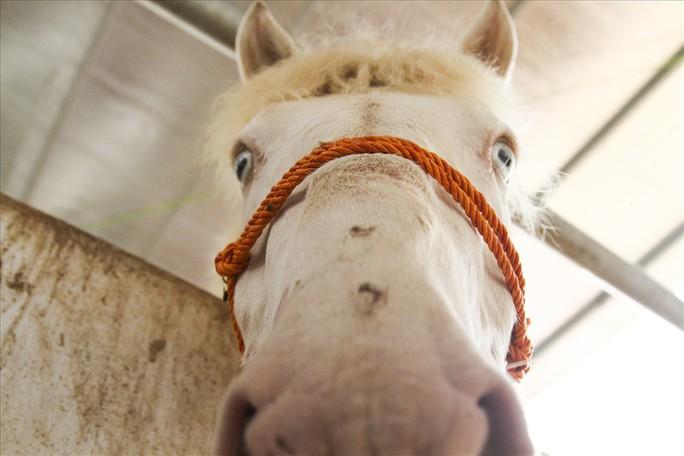 Nuôi ngựa bạch sắm nhà lầu, xe hơi ở Thái Nguyên - Ảnh 11.