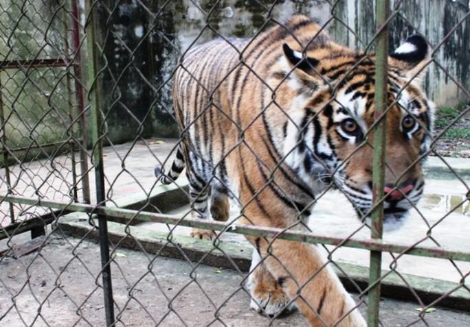 Cầu cứu 2 bộ xử lý 11 cá thể hổ nuôi nhốt trong khu dân cư - Ảnh 2.