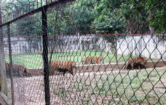 Cầu cứu 2 bộ xử lý 11 cá thể hổ nuôi nhốt trong khu dân cư - Ảnh 1.