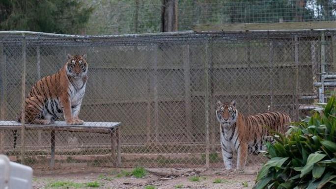 Vì sao dân Mỹ thích nuôi hổ làm... thú cưng? - Ảnh 3.